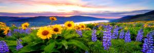 oregonsunflowers